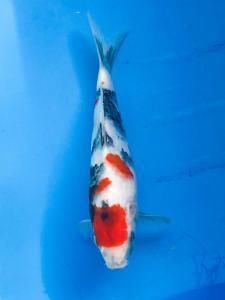 023-Sapta-Lombok-WWF-Lombok-Showa-28-Unknown